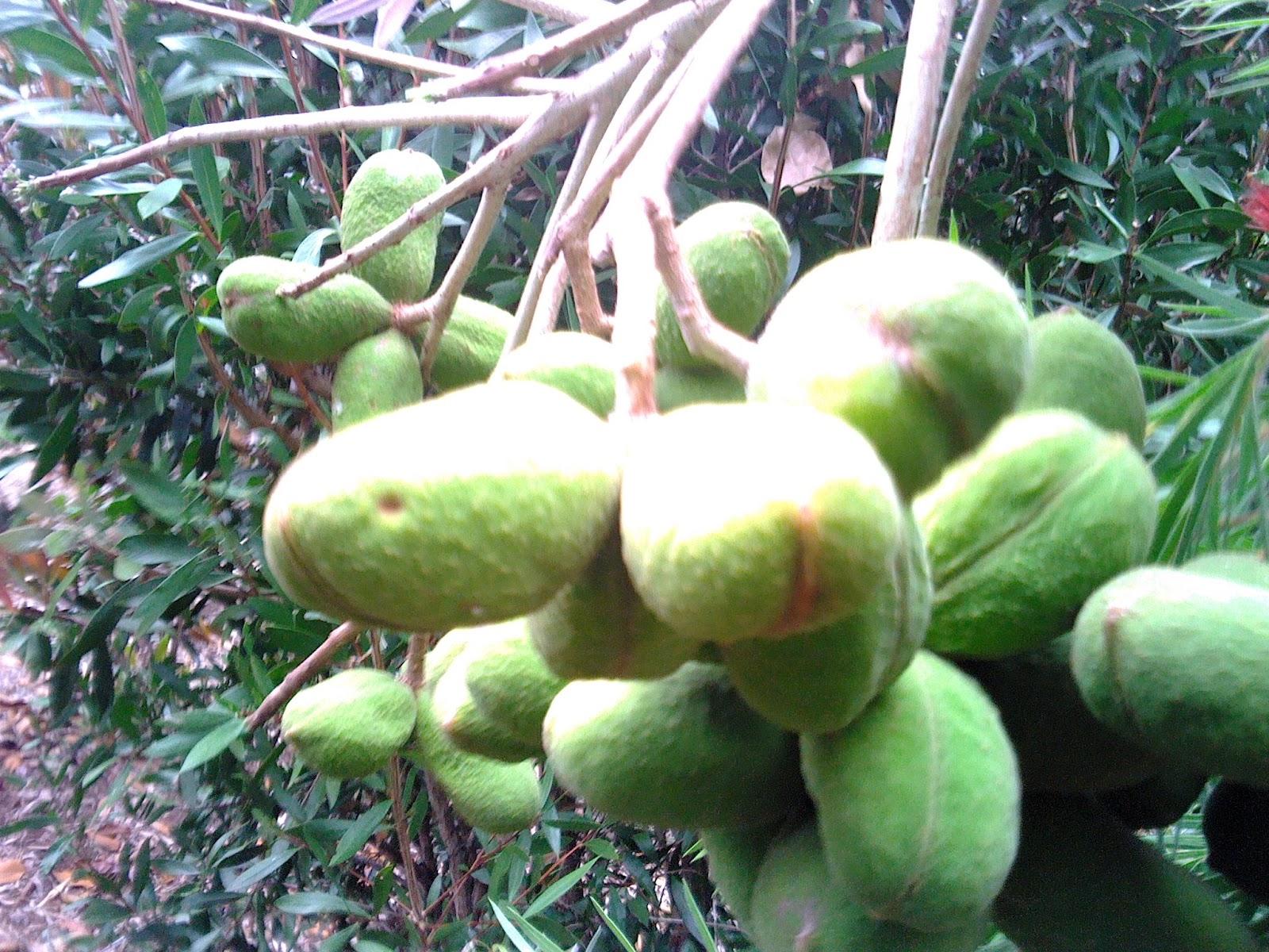 Botanist Backyard: Peanuts grow on Trees