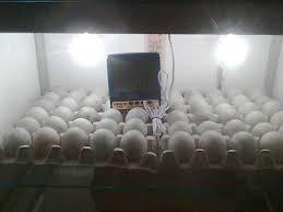 Cara Penetasan Telur  Bebek (Itik) Secara Cepat