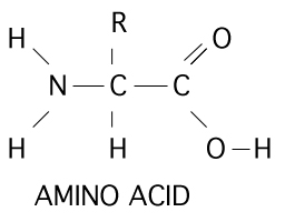 20 Different Amino Acids Make Up Proteins In Living Organisms R Stands For A Functional Group That Makes Each Amino Acid Unique