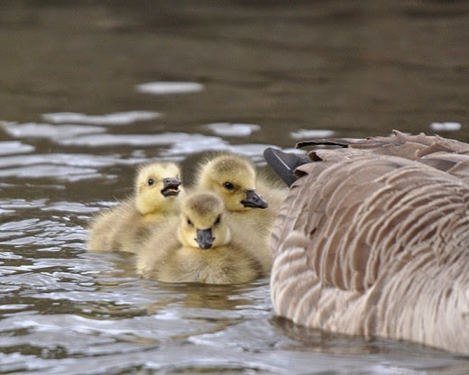 Adult Canada goose with goslings