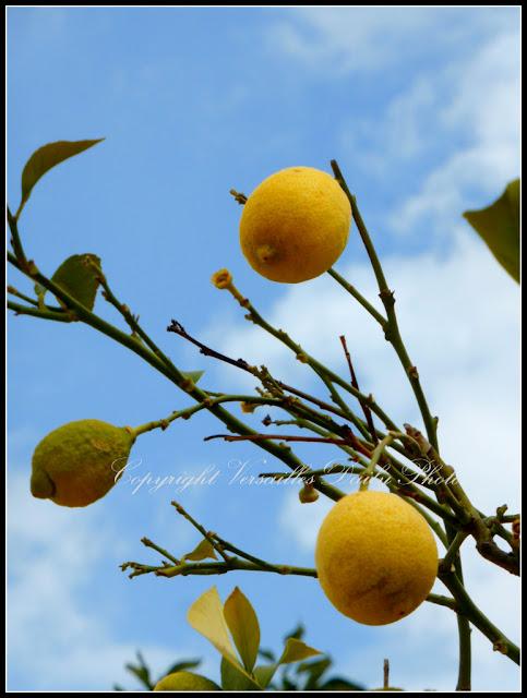 Lemons Versailles palace gardens