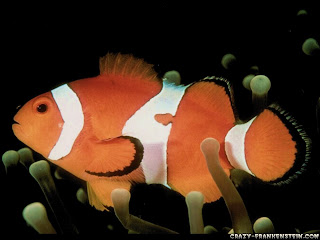 Free Download Nemo Clownfish Fish Wallpapers