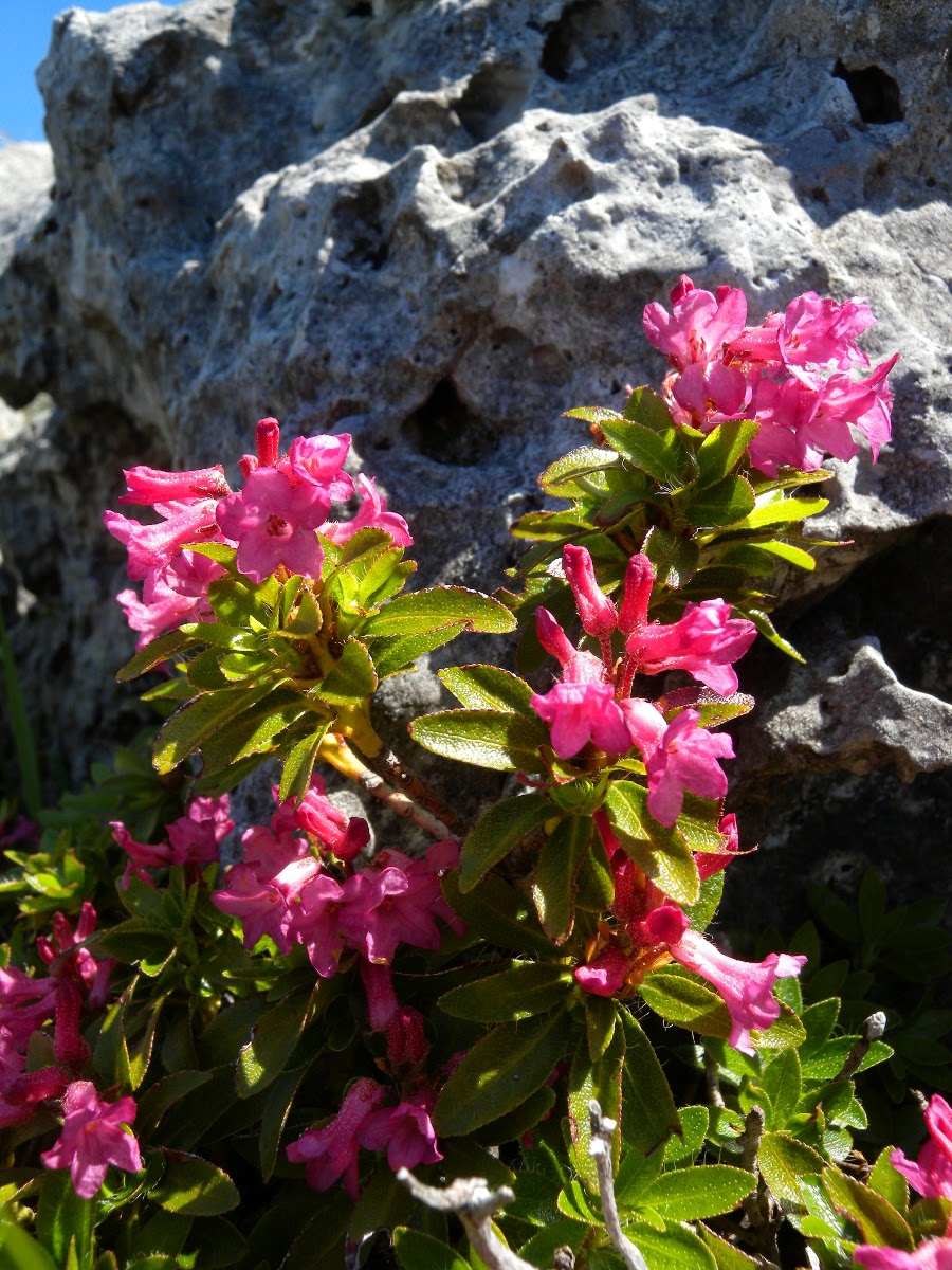 Carniolicum birding wildlife in slovenia the blog of rhododendron hirsutum in its full glory widely distributed along the rocky slopes of aven but only 5 or 6 flowering bushes found yesterday mightylinksfo