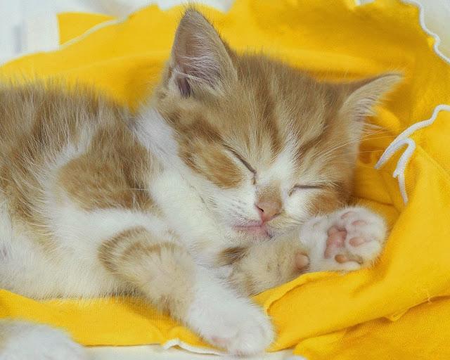 рыжий котёнок спит