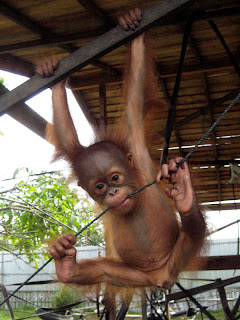 Paolo the baby orangutan