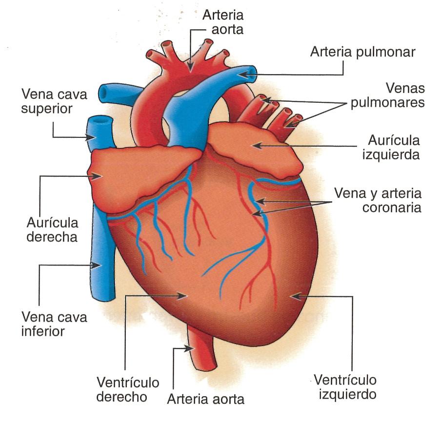 Excelente Etiquetado Anatomía Del Corazón Composición - Imágenes de ...