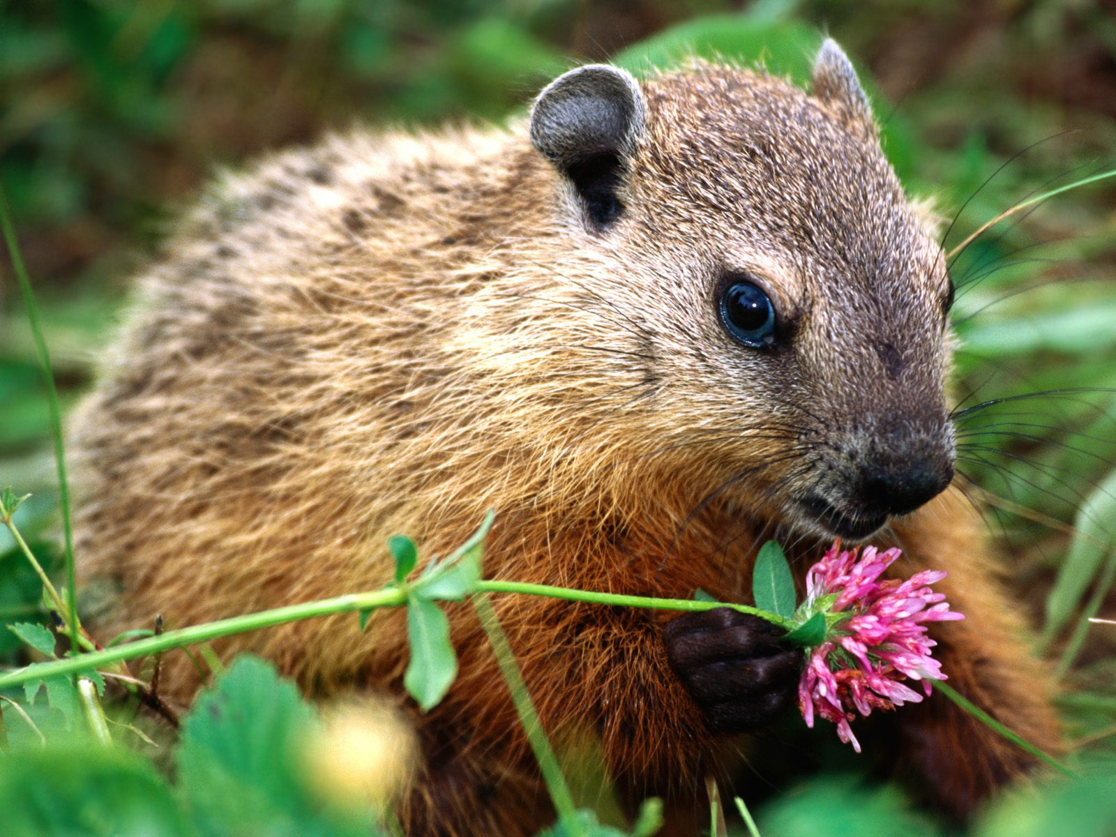 http://2.bp.blogspot.com/-sadnFbYGXQw/UO65hcfg30I/AAAAAAAABGM/JqpVMs-ZSDQ/s1600/woodchuck-with-a-pink-flower-cute-animals-pictures.Jpg