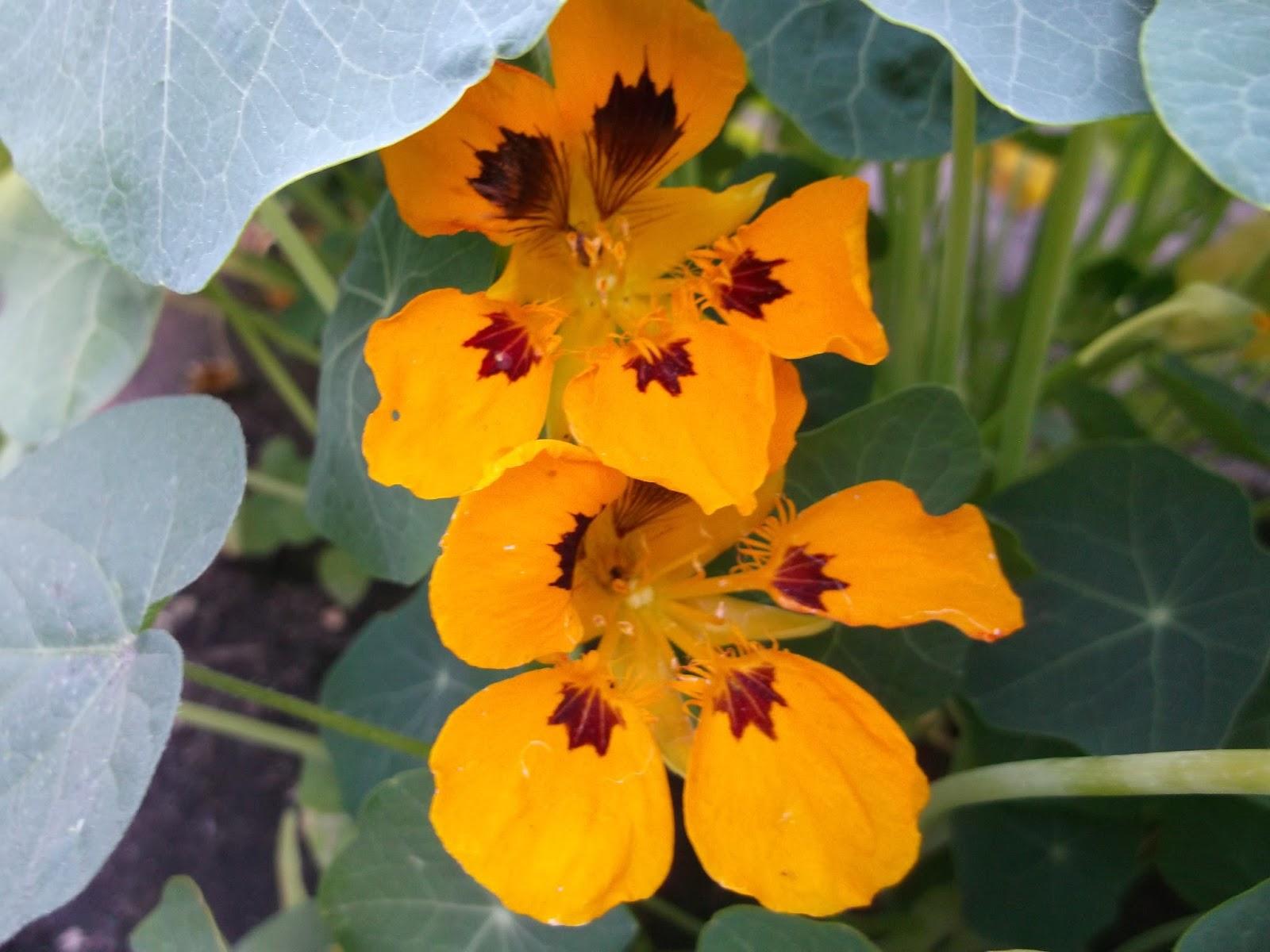 Лекарственные свойства цветков настурции