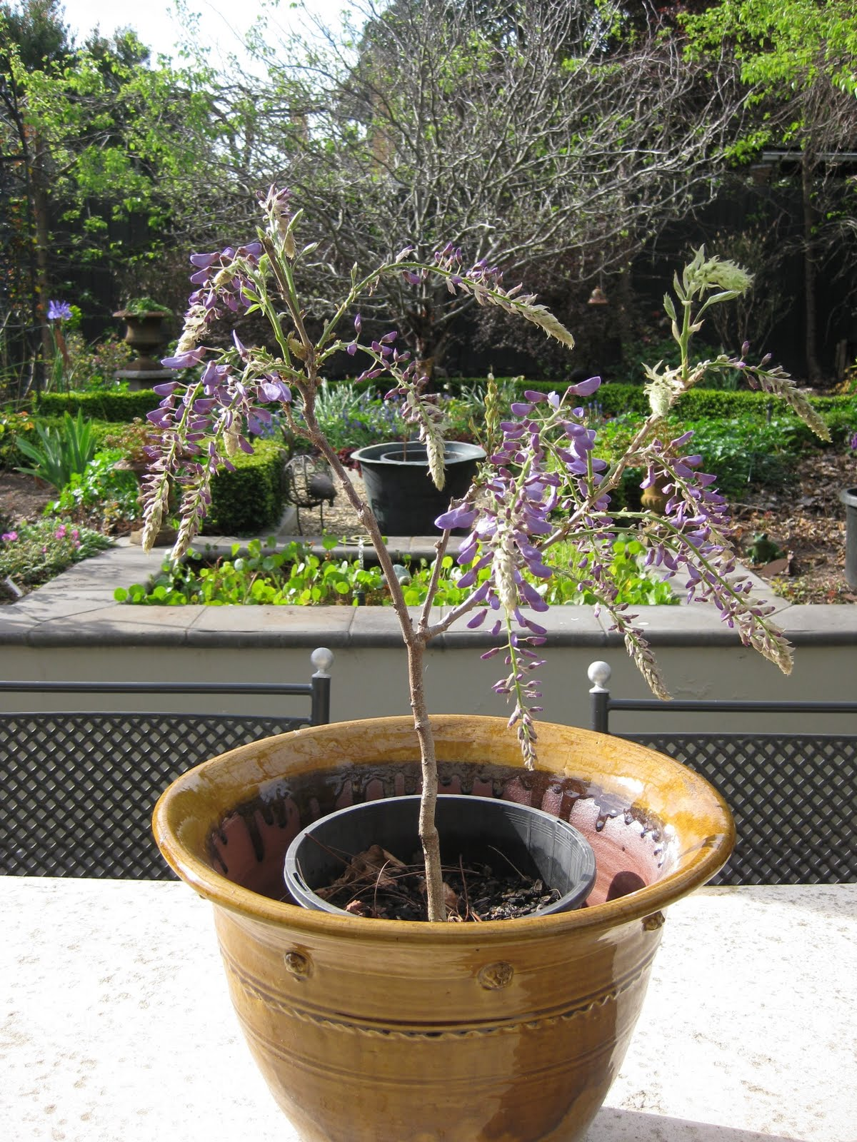 Hand Sewn Home Grown Wisteria Bonsai