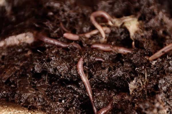 worms died in heatwave