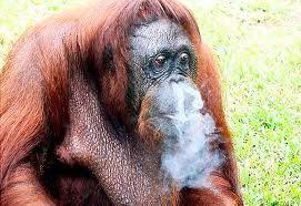 orangutans smoke