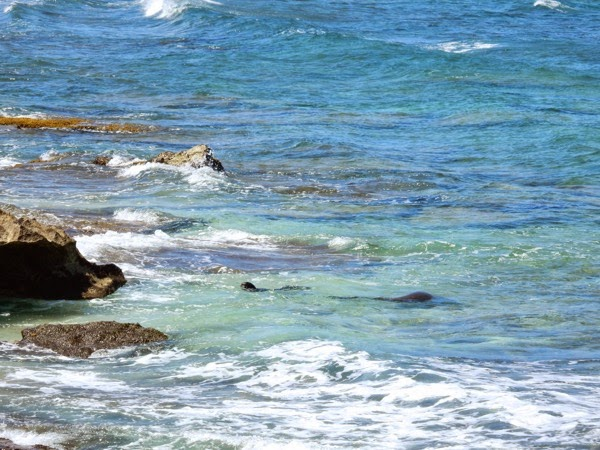 Monk seals Oahu North Shore