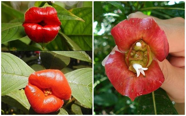 Bunga Psychotria Elata
