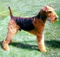 Airedale Terrier, Dog Temperament, Dog Care, Dog Health