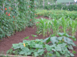 runner beans, squash plants, sweetcorn and babycorn