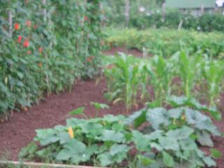 runner beans, squash plants, sweetcorn and babycorn