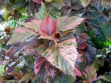 """Acalypha wilkesiana Müll. Arg. cv. """"Tricolor"""""""
