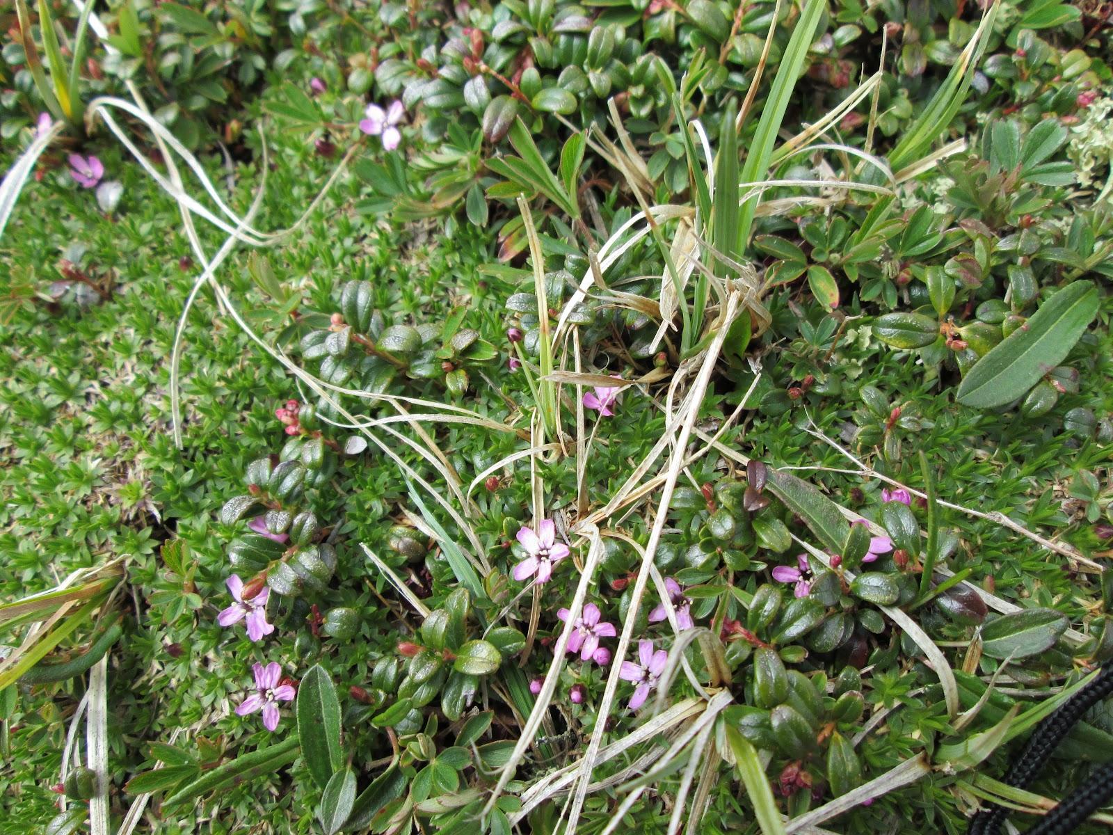 Alpine Flowers In Full Bloom Appalachian Mountain Club