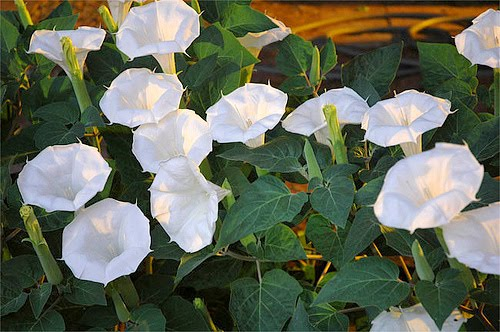 White moonflower its large leaves make it a good sunscreen for porches scientific classification the moonflower is a member of the morning glory family convolvulaceae mightylinksfo