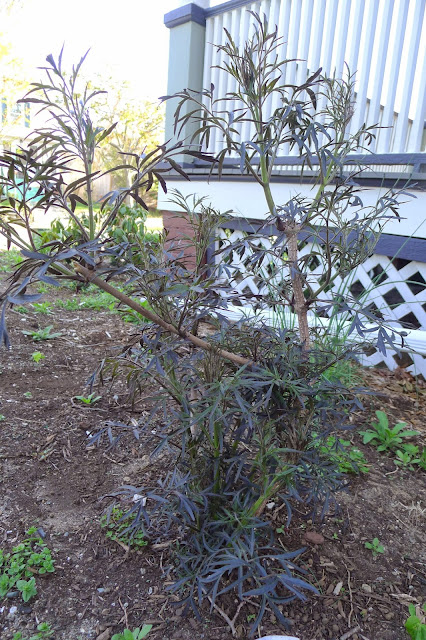 Pruning Black Lace Elderberries