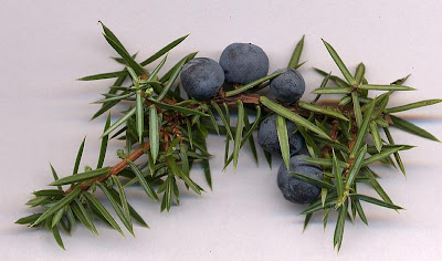 Juniper Berry For Health