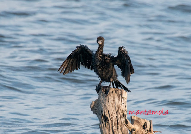 Little Cormorant(Phalacrocorax niger)