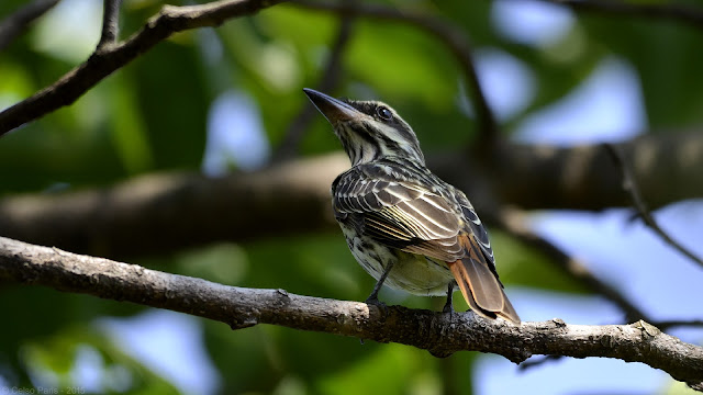 Streaked Flycatcher Myiodynastes maculatus Bem-te-vi-rajado Benteveo rayado