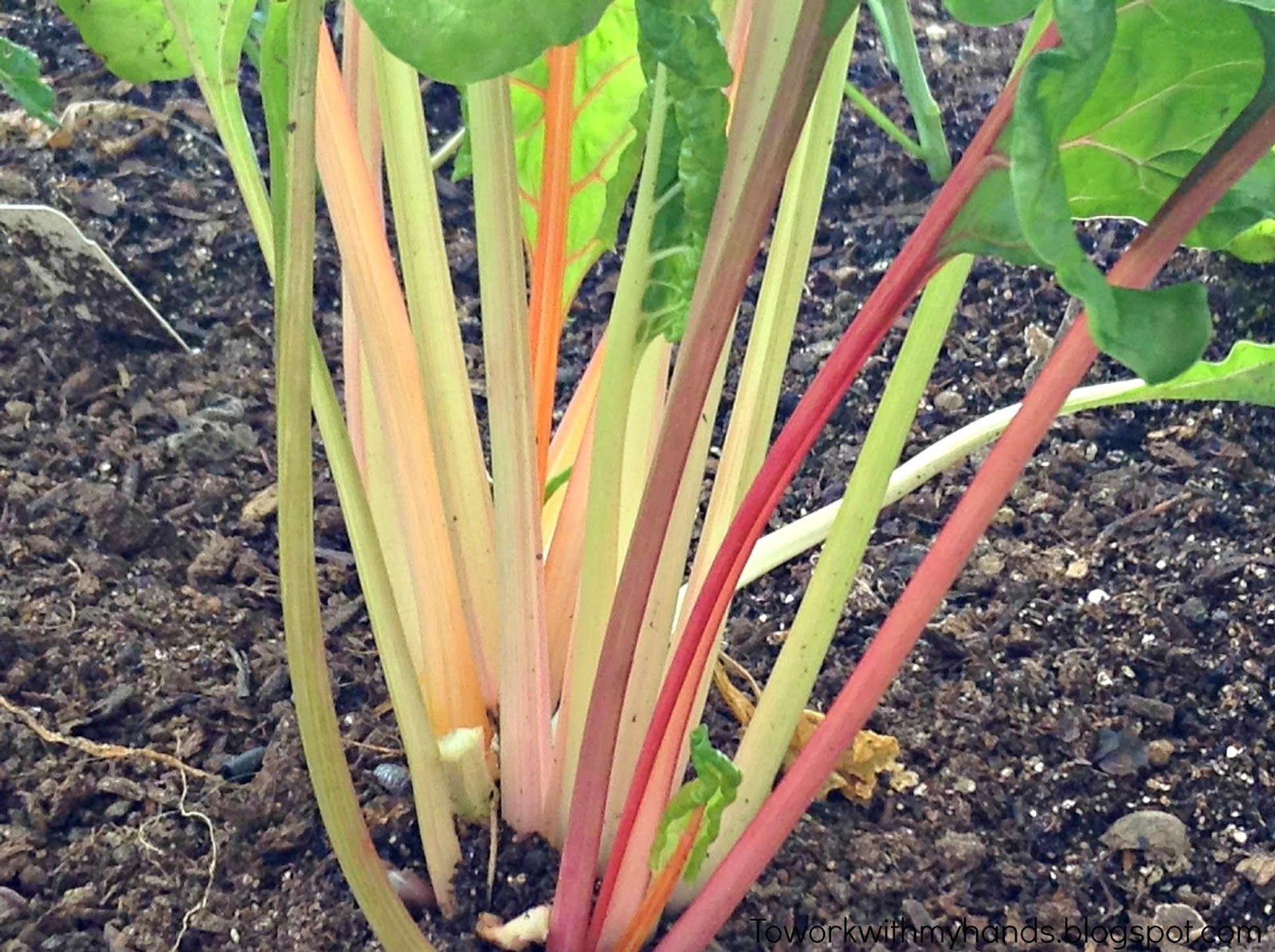 Practically loaded with vitamins and minerals, Swiss chard is considered a nutritional powerhouse!