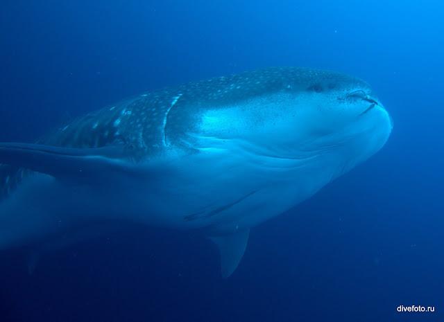 Китовая акула галапагосы фото