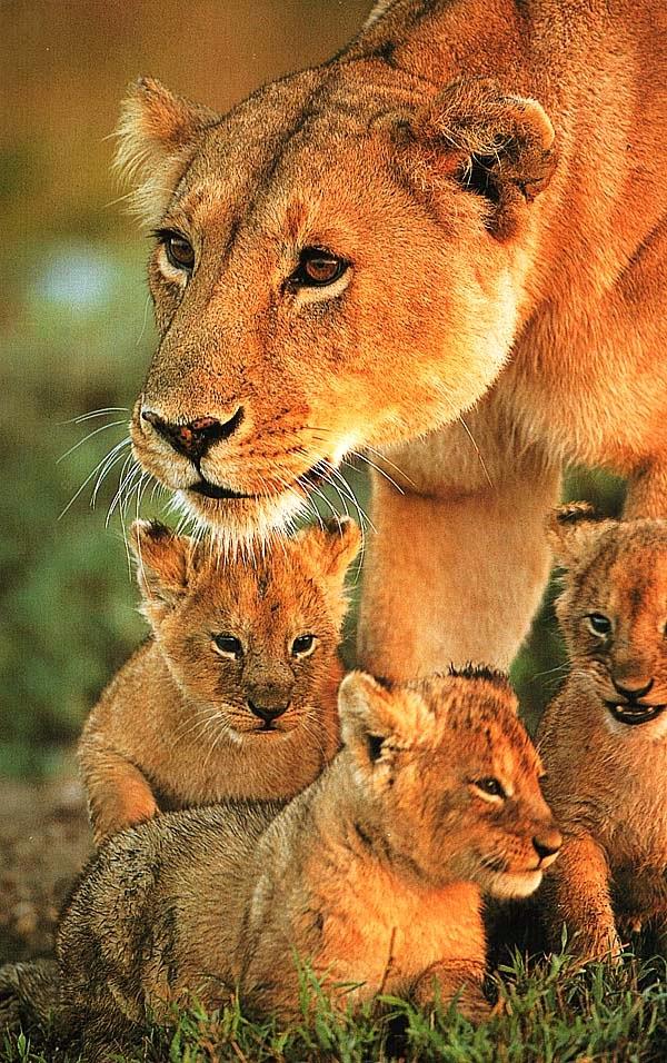 Львица и ее малыши