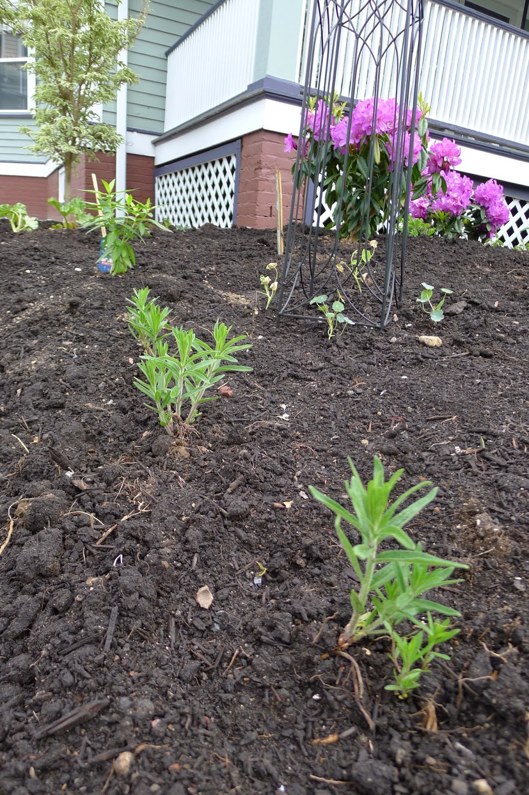 Milkweed, edible landscaping