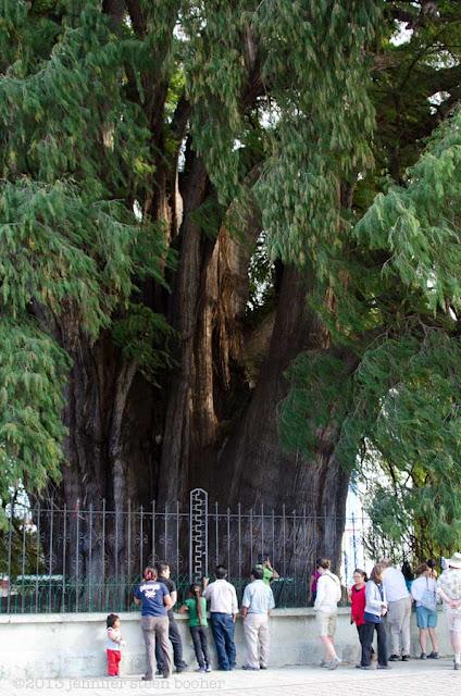Taxodium mucronatum, Tule tree, Montezuma Cypress
