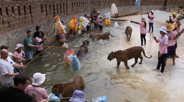 Tailandesas e turistas provocam tigres sem medo de serem atacados