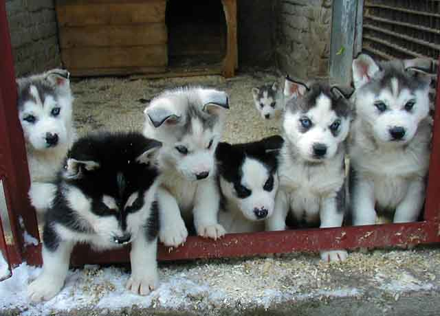 pictures of alaskan huskies