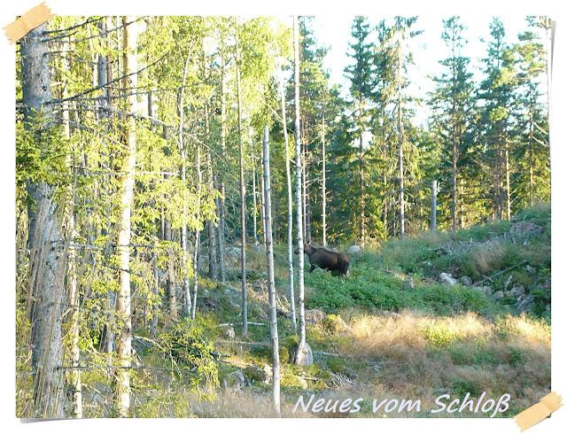 Elch, Schweden- Neues vom Schloß