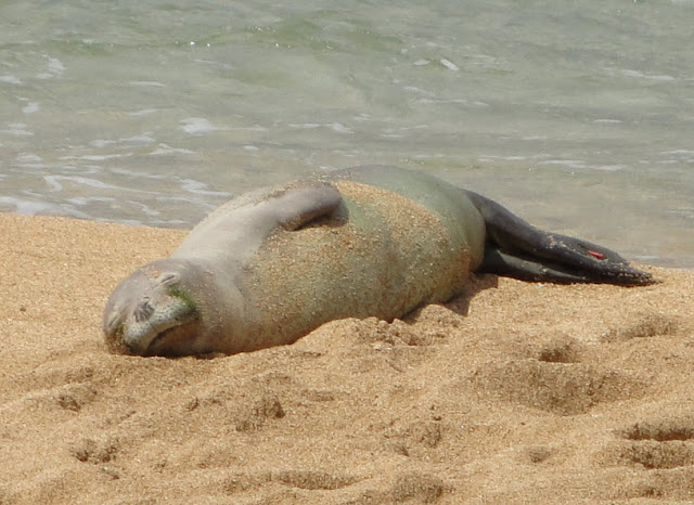 hawaiian monk seal Seal conservation society - pinnipeds and seal conservation, research, information and rehabilitation.