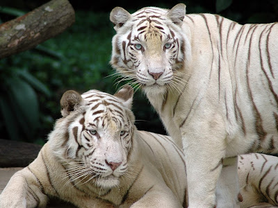 White Bengal Tigers Wallpapers