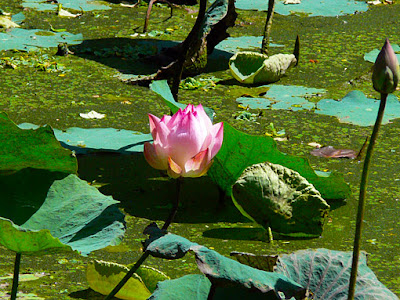 pretty lotus flowers in a pond