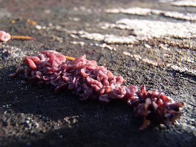 galaretnica mięsista - Ascocoryne sarcoides