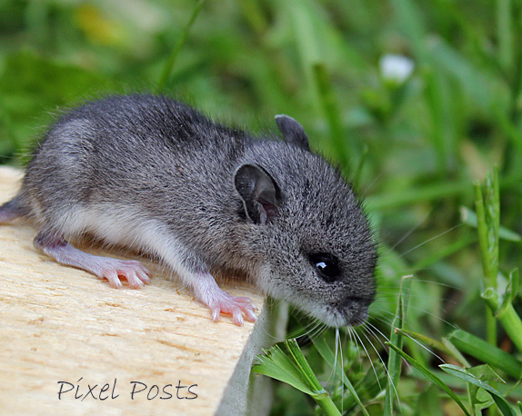 pixel posts teeny baby mouse