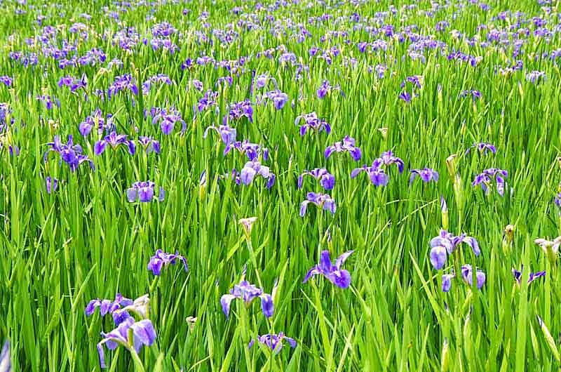 purple iris,flowers