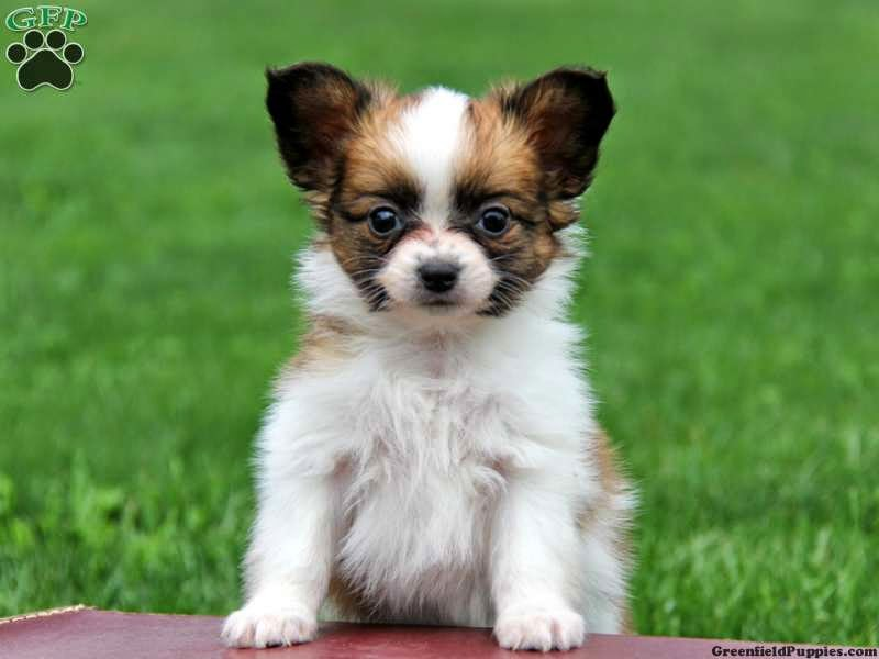 Papillon dogs and puppies  pictures, wallpapers and information.