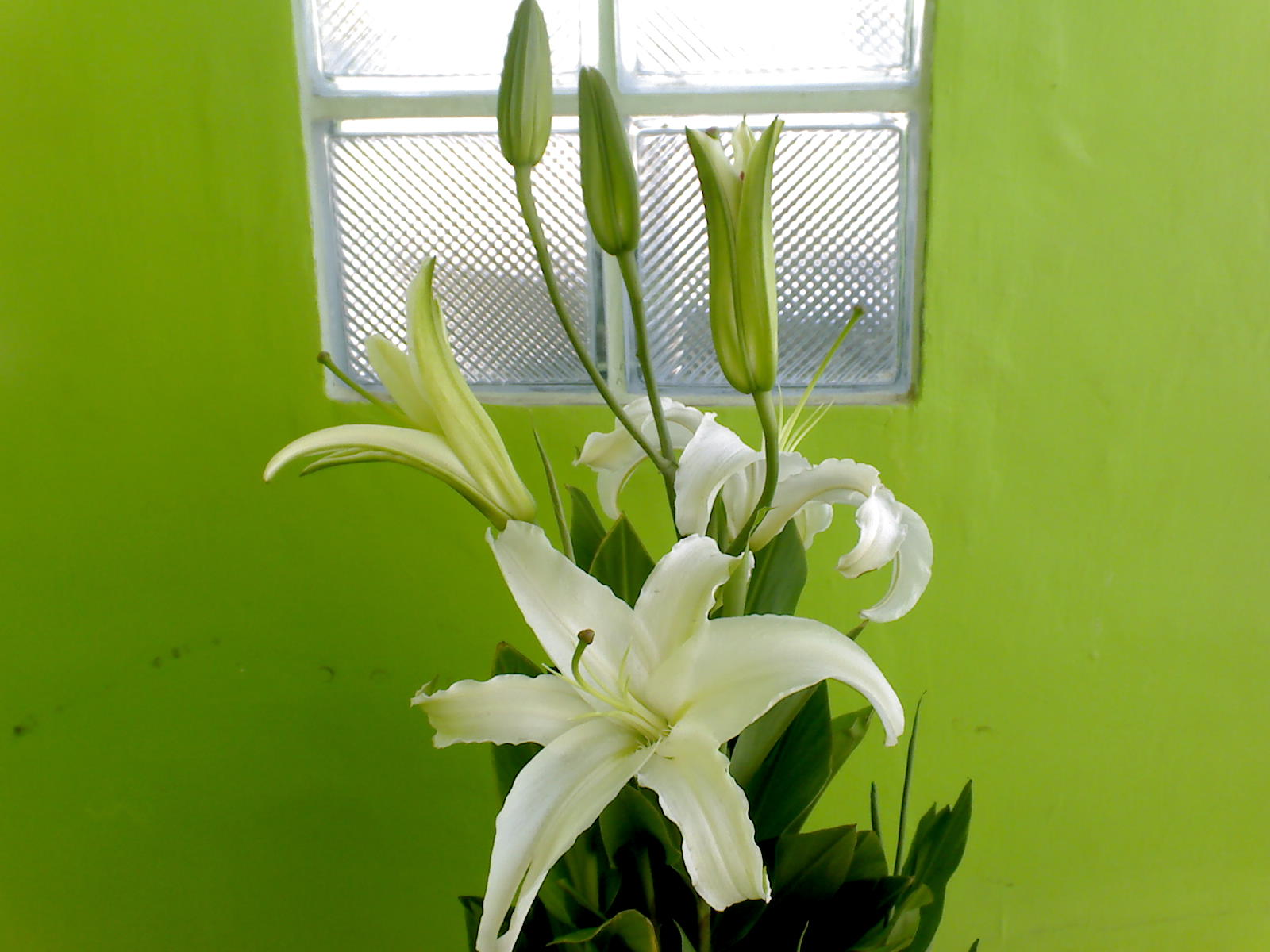 Flowers In The Philippines Stargazer Lily White