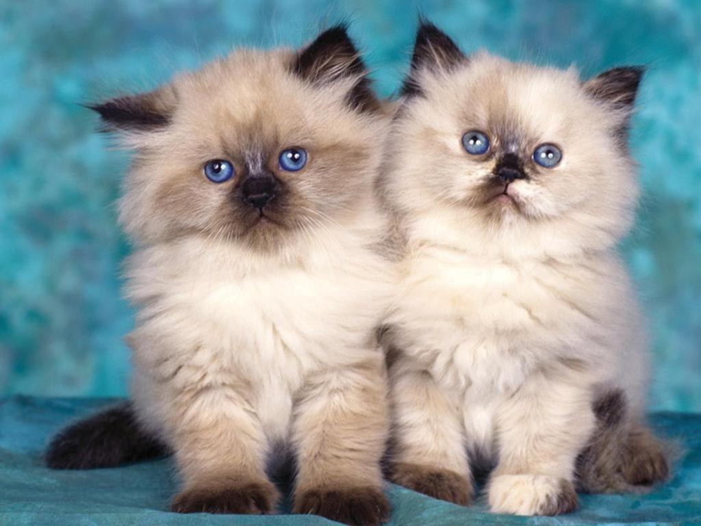 Gambar Kucing Persia kembar