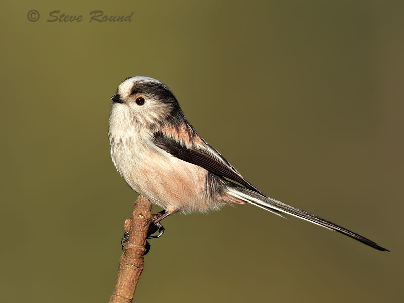 long-tailed tit, bird,