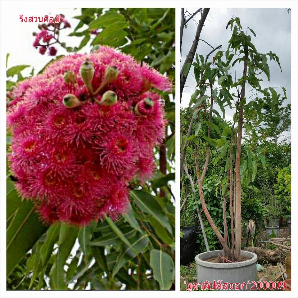 ยูคาลิปตัสดอกสีชมพู ดอกหอม ยูคาลิปตัสออสเตรเลีย (200009)