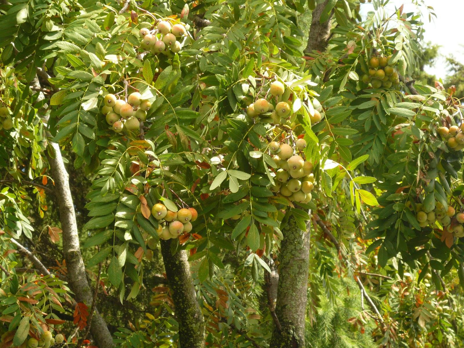 Giardini in gallura il sorbo albero da frutto e da giardino - Alberi particolari da giardino ...