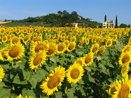 Blog Icandoits Keunikan Bunga Matahari