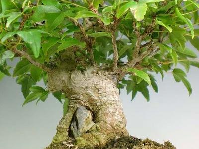Bonsai Arce Burgueriano en piedra (Acer Buergerianum)