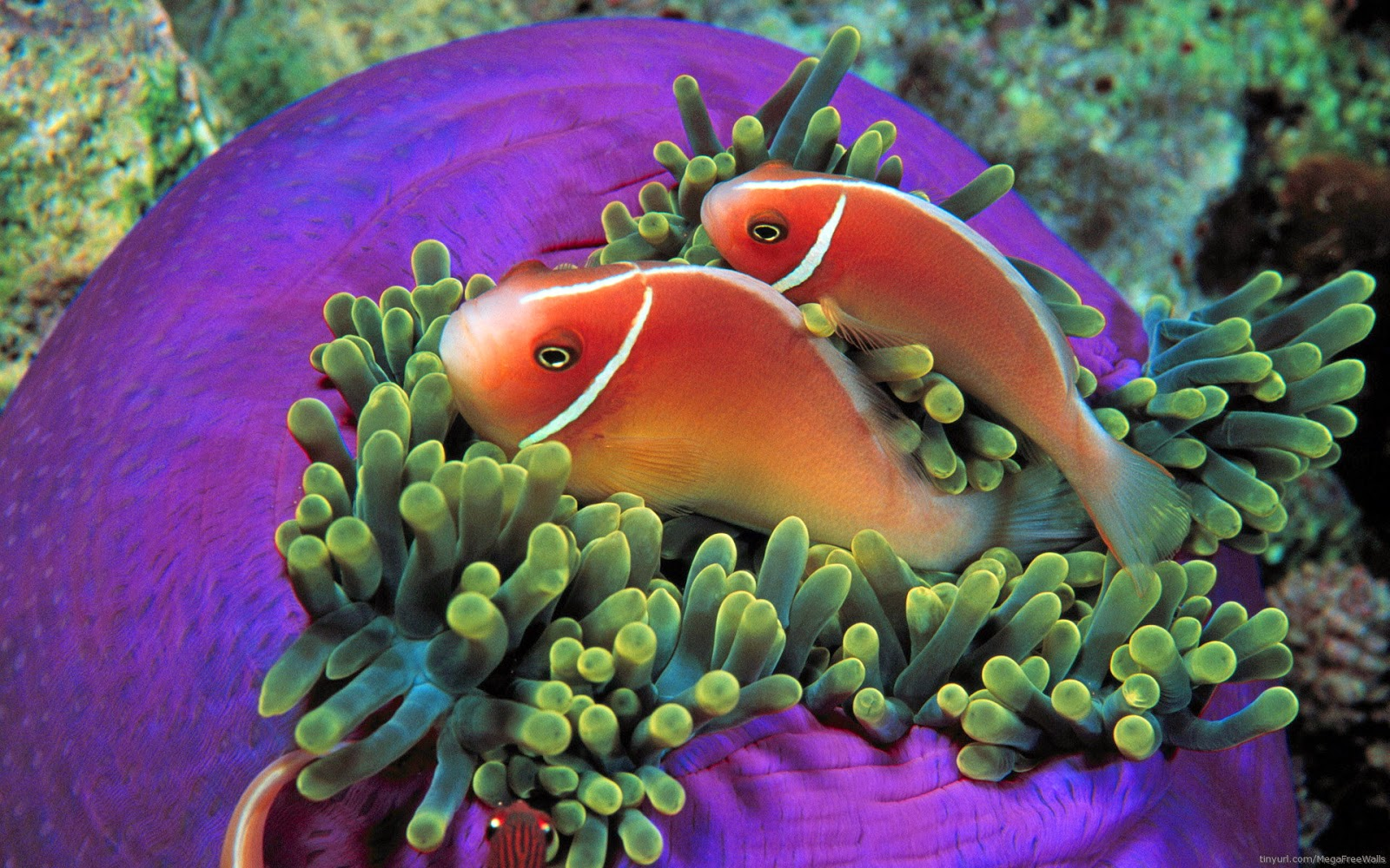 Fish-pair-in-Love-picture-HD.jpg